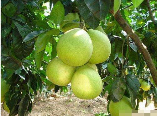 柚子高产种植技术 柚子树的栽培方法
