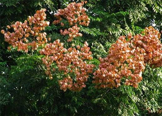 黄山栾树1.jpg