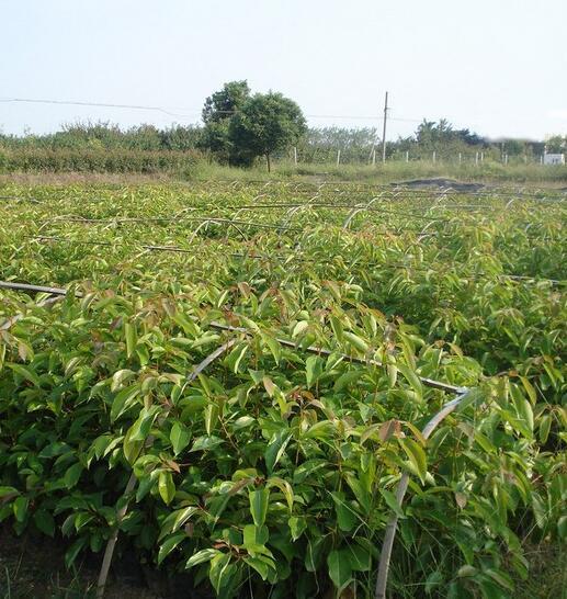 潜力苗木新品种龙脑樟树苗种植前景