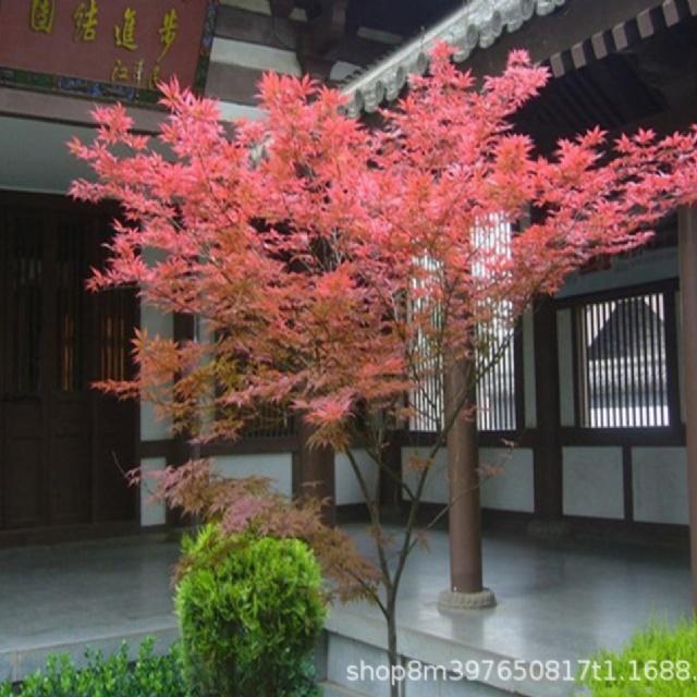 红枫种植效果图
