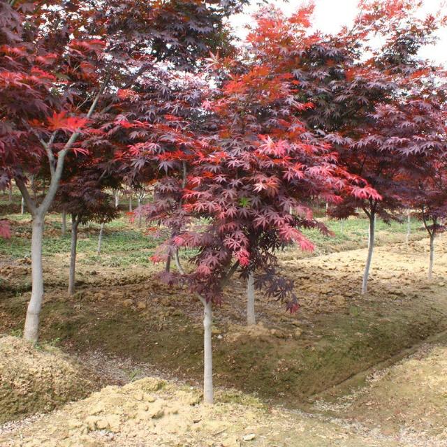 红枫基地实拍图