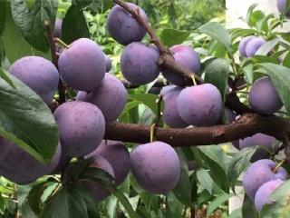 中国南方最早熟的李子苗新品种