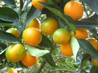 脆皮金桔苗的栽培特征是怎么样的