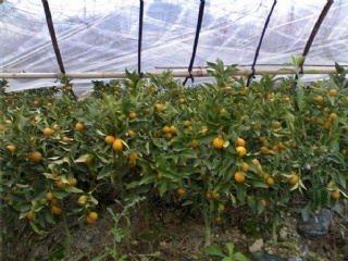 滑皮金桔苗的肥水管理介绍以及哪里能购买滑皮金桔苗
