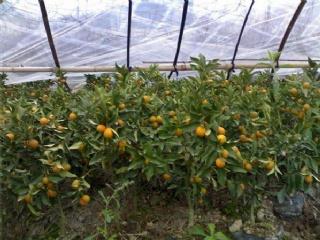 金桔苗批发价格金桔苗种植基地脆皮金桔苗当年可挂果