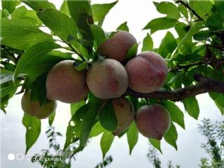 2019年值得种植的果苗新品种之李子树苗新品种推荐