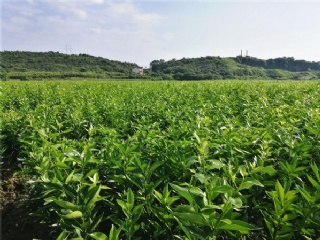 长兴果苗市场主营梨苗、桃苗、杨梅苗、李子苗等各类南方适种果苗